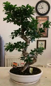 100 cm yüksekliğinde dev bonsai japon ağacı  Kayseri akkışla çiçek çiçekçi telefonları