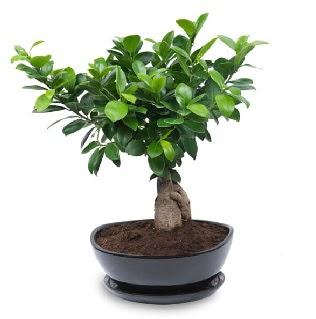 Ginseng bonsai ağacı özel ithal ürün  Kayseri çiçek online çiçek gönderme sipariş