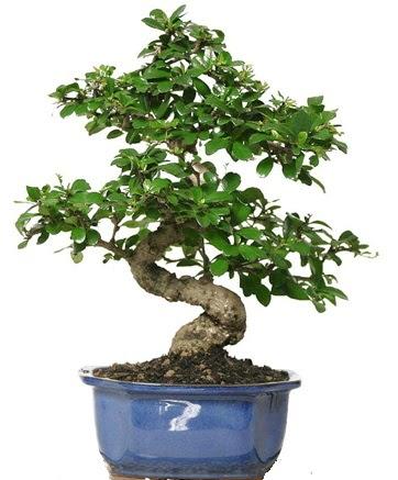 21 ile 25 cm arası özel S bonsai japon ağacı  Kayseri çiçek hediye çiçek yolla