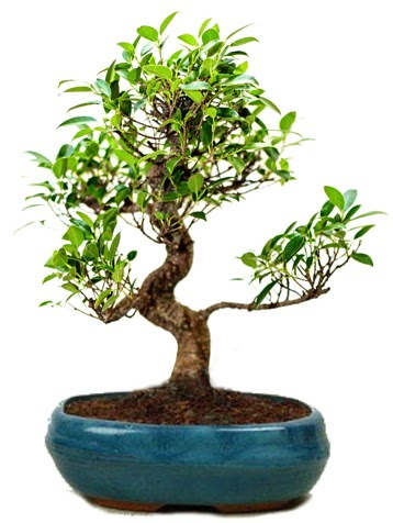 25 cm ile 30 cm aralığında Ficus S bonsai  Kayseri çiçek çiçek satışı