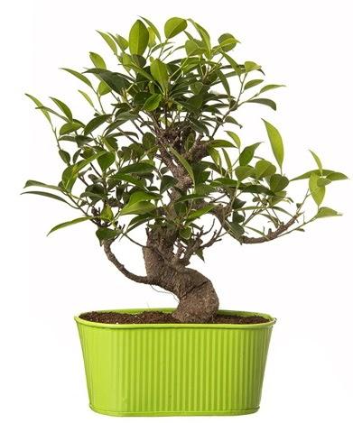 Ficus S gövdeli muhteşem bonsai  Kayseri çiçek çiçek siparişi vermek