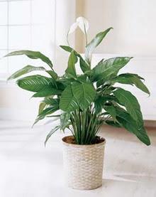 Kayseri çiçek 14 şubat sevgililer günü çiçek  spatilyum ithal büyük boy