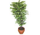 Ficus özel Starlight 1,75 cm   Kayseri çiçek anneler günü çiçek yolla