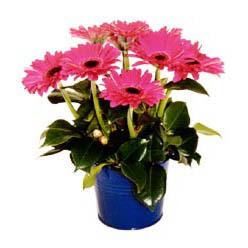 vazo içerisinde gerbera çiçekleri   Kayseri çiçek 14 şubat sevgililer günü çiçek