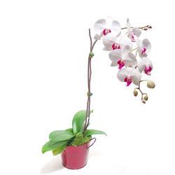 Kayseri çiçek ucuz çiçek gönder  Saksida orkide