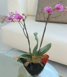 Kayseri çiçek internetten çiçek siparişi  tek dal ikili orkide saksi çiçegi