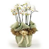 Kayseri çiçek çiçek siparişi vermek  3 dal orkide , saksi çiçegi , 3 kök orkide