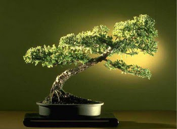 ithal bonsai saksi çiçegi  Kayseri çiçek internetten çiçek siparişi