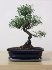 ithal bonsai saksi çiçegi  Kayseri çiçek uluslararası çiçek gönderme