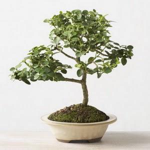 ithal bonsai saksi çiçegi  Kayseri çiçek güvenli kaliteli hızlı çiçek