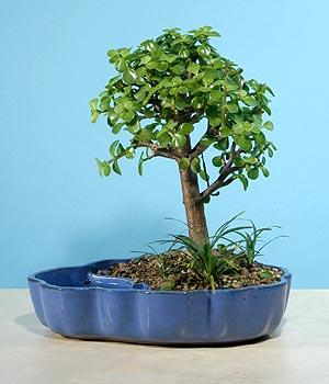 ithal bonsai saksi çiçegi  Kayseri çiçek cicek , cicekci