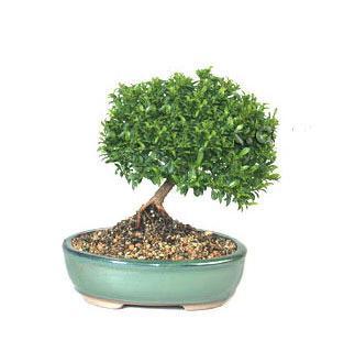 ithal bonsai saksi çiçegi  Kayseri çiçek hediye sevgilime hediye çiçek