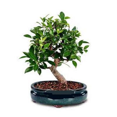 ithal bonsai saksi çiçegi  Kayseri çiçek çiçek siparişi vermek