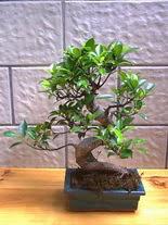 ithal bonsai saksi çiçegi  Kayseri çiçek kaliteli taze ve ucuz çiçekler