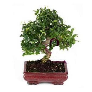 ithal bonsai saksi çiçegi  Kayseri çiçek çiçek mağazası , çiçekçi adresleri
