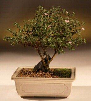 ithal bonsai saksi çiçegi  Kayseri çiçek online çiçekçi , çiçek siparişi