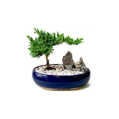 ithal bonsai saksi çiçegi  Kayseri çiçek ucuz çiçek gönder