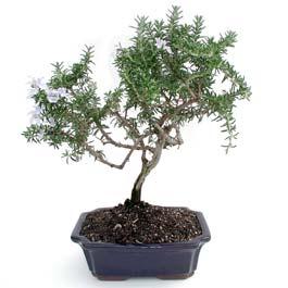 ithal bonsai saksi çiçegi  Kayseri çiçek hediye çiçek yolla