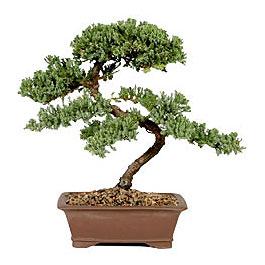 ithal bonsai saksi çiçegi  Kayseri çiçek çiçek satışı