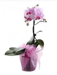 1 dal pembe orkide saksı çiçeği  Kayseri çiçek çiçek yolla , çiçek gönder , çiçekçi