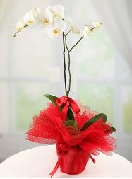 1 dal beyaz orkide saksı çiçeği  Kayseri hacılar çiçek çiçek gönderme sitemiz güvenlidir