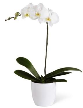 1 dallı beyaz orkide  Kayseri çiçek çiçek servisi , çiçekçi adresleri