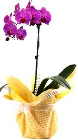 Kayseri çiçek çiçek siparişi vermek  Tek dal mor orkide saksı çiçeği