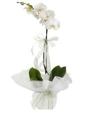 1 dal beyaz orkide çiçeği  Kayseri çiçek uluslararası çiçek gönderme