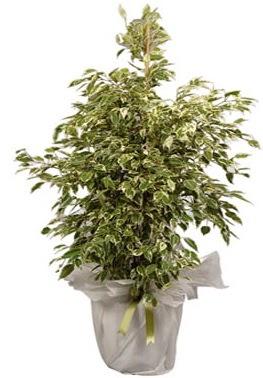 Orta boy alaca benjamin bitkisi  Kayseri çiçek online çiçek gönderme sipariş