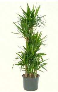 7 li yucca saksı bitkisi  Kayseri çiçek yurtiçi ve yurtdışı çiçek siparişi