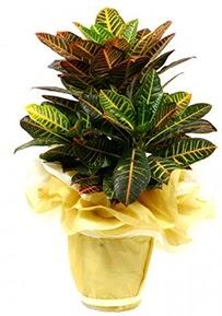 Orta boy kraton saksı çiçeği  Kayseri çiçek çiçek servisi , çiçekçi adresleri