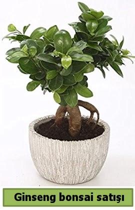 Ginseng bonsai japon ağacı satışı  Kayseri çiçek hediye çiçek yolla