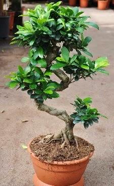 Orta boy bonsai saksı bitkisi  Kayseri çiçek cicekciler , cicek siparisi
