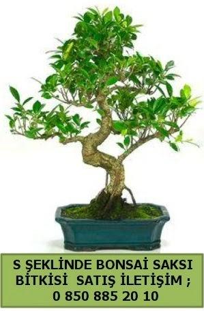 İthal S şeklinde dal eğriliği bonsai satışı  Kayseri çiçek ucuz çiçek gönder