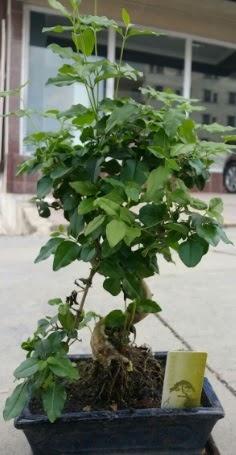 Bonsai japon ağacı saksı bitkisi  Kayseri çiçek uluslararası çiçek gönderme