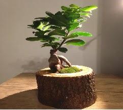 Doğal kütükte Bonsai japon ağacı satışı  Kayseri çiçek online çiçek gönderme sipariş