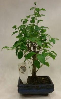 Minyatür bonsai japon ağacı satışı  Kayseri çiçek hediye çiçek yolla
