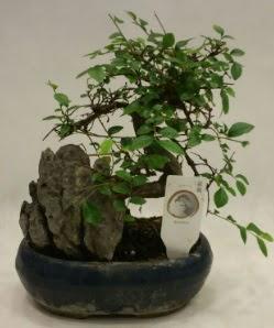 İthal 1.ci kalite bonsai japon ağacı  Kayseri çiçek çiçekçi mağazası