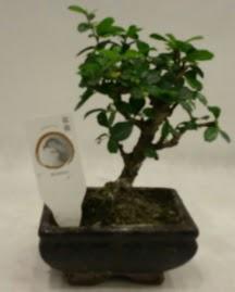 Küçük minyatür bonsai japon ağacı  Kayseri çiçek ucuz çiçek gönder