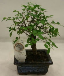 Minyatür ithal japon ağacı bonsai bitkisi  Kayseri çiçek çiçekçi mağazası