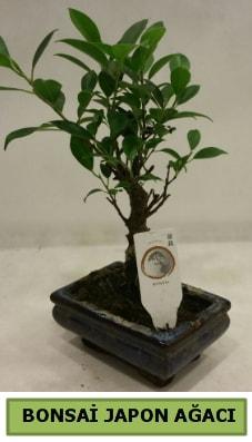 Bonsai japon ağacı saksı bitkisi  Kayseri çiçek yurtiçi ve yurtdışı çiçek siparişi