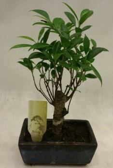 Japon ağacı bonsai bitkisi satışı  Kayseri çiçek hediye çiçek yolla
