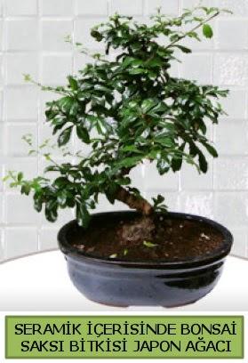 Seramik vazoda bonsai japon ağacı bitkisi  Kayseri çiçek çiçek siparişi vermek