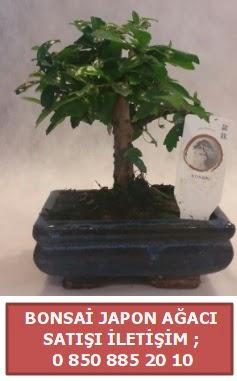Japon ağacı minyaür bonsai satışı  Kayseri çiçek çiçekçi mağazası