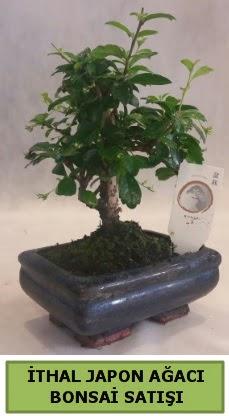 İthal japon ağacı bonsai bitkisi satışı  Kayseri çiçek hediye çiçek yolla