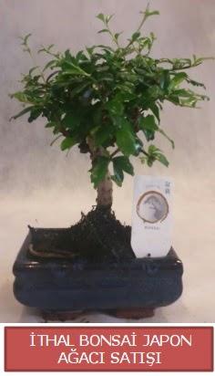 İthal küçük boy minyatür bonsai ağaç bitkisi  Kayseri çiçek hediye çiçek yolla