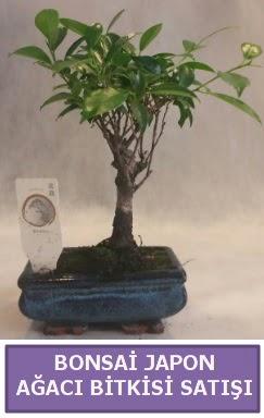 İthal Bonsai japon ağacı bitkisi satışı  Kayseri akkışla çiçek çiçekçi telefonları