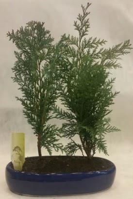 SINIRLI SAYIDA Selvi Ağacı bonsai ikili  Kayseri çiçek hediye çiçek yolla
