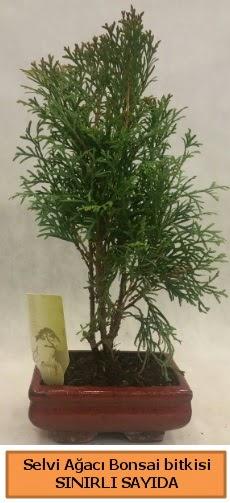 Selvi ağacı bonsai japon ağacı bitkisi  Kayseri çiçek çiçekçi mağazası