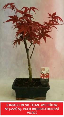 İTHAL ACER RUBRUM BONSAİ AĞACI  Kayseri çiçek çiçek satışı
